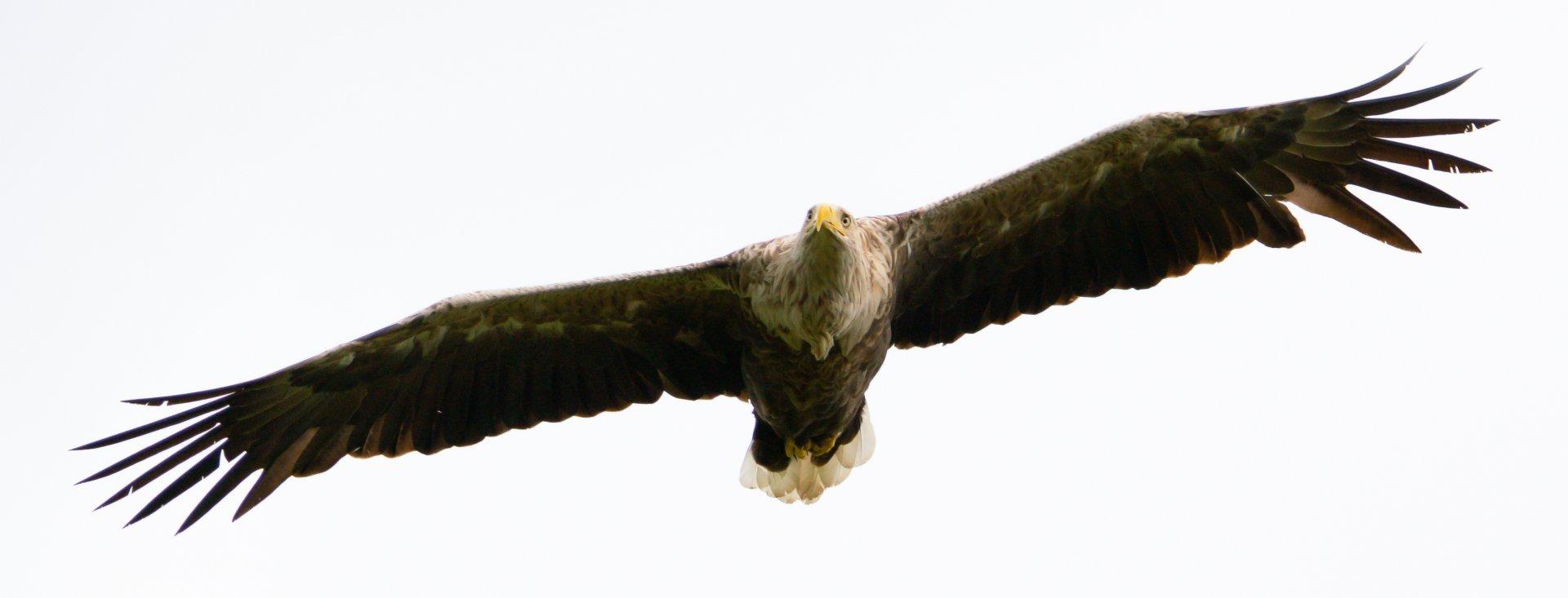 Adler Druckversion 2.jpg