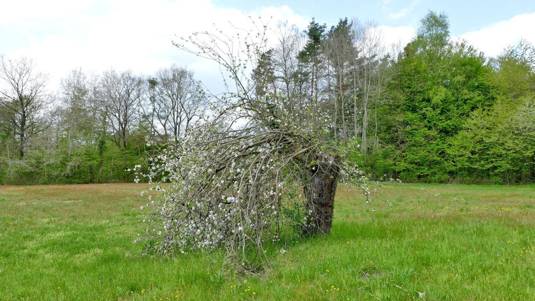 Apfelbaum1.jpg