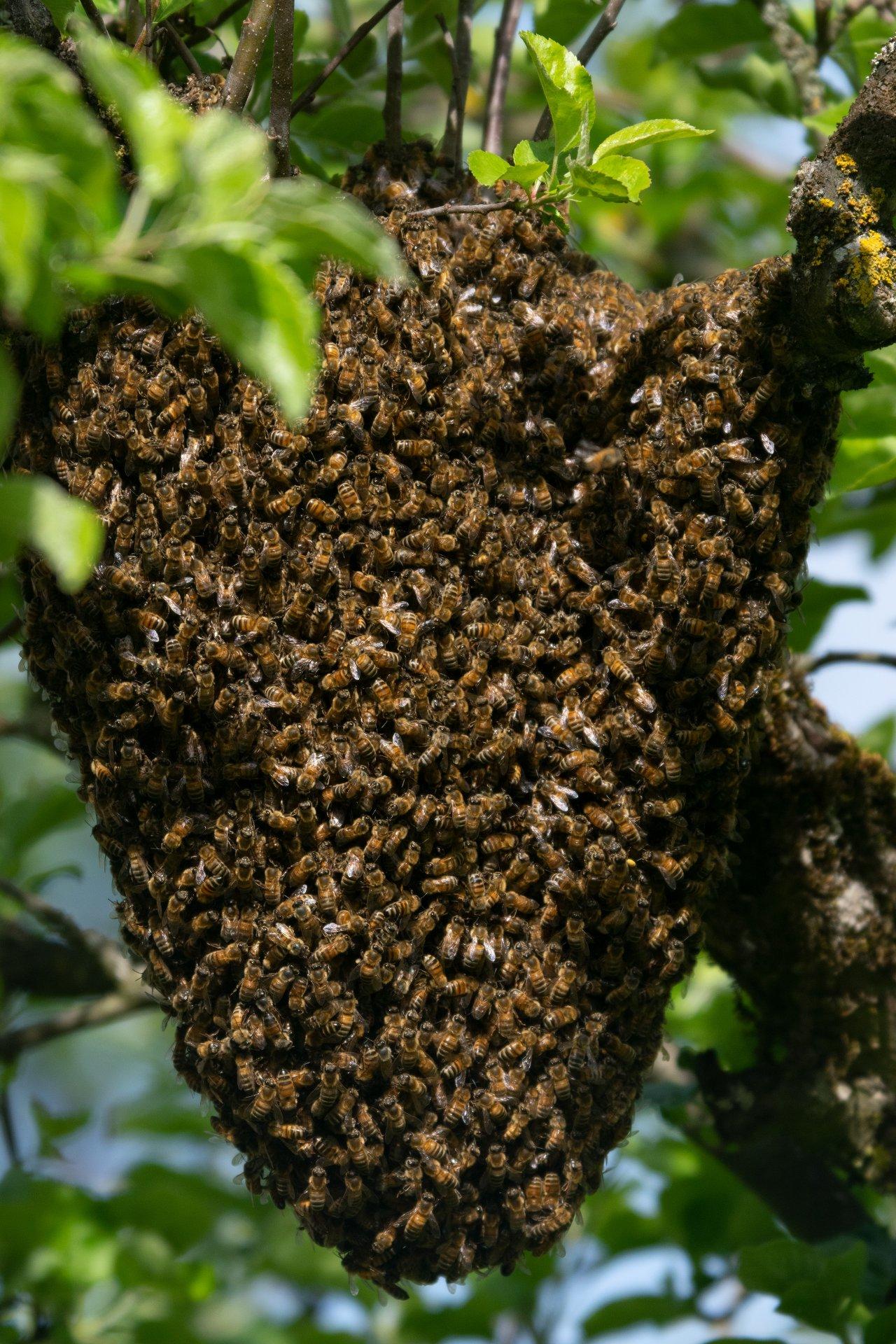 Bienenschwarm.jpg
