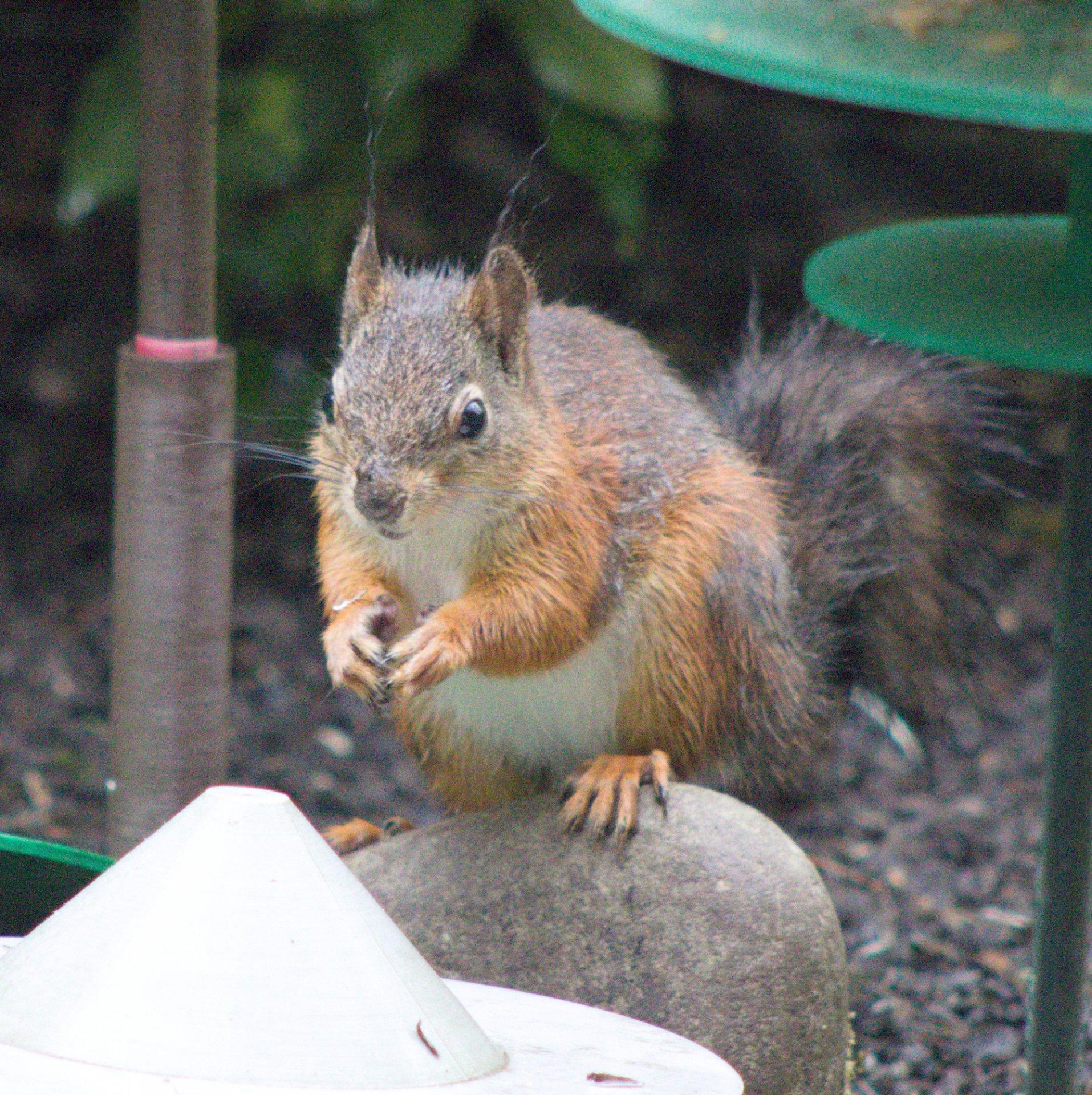Eichhörnchendieb-5.jpg