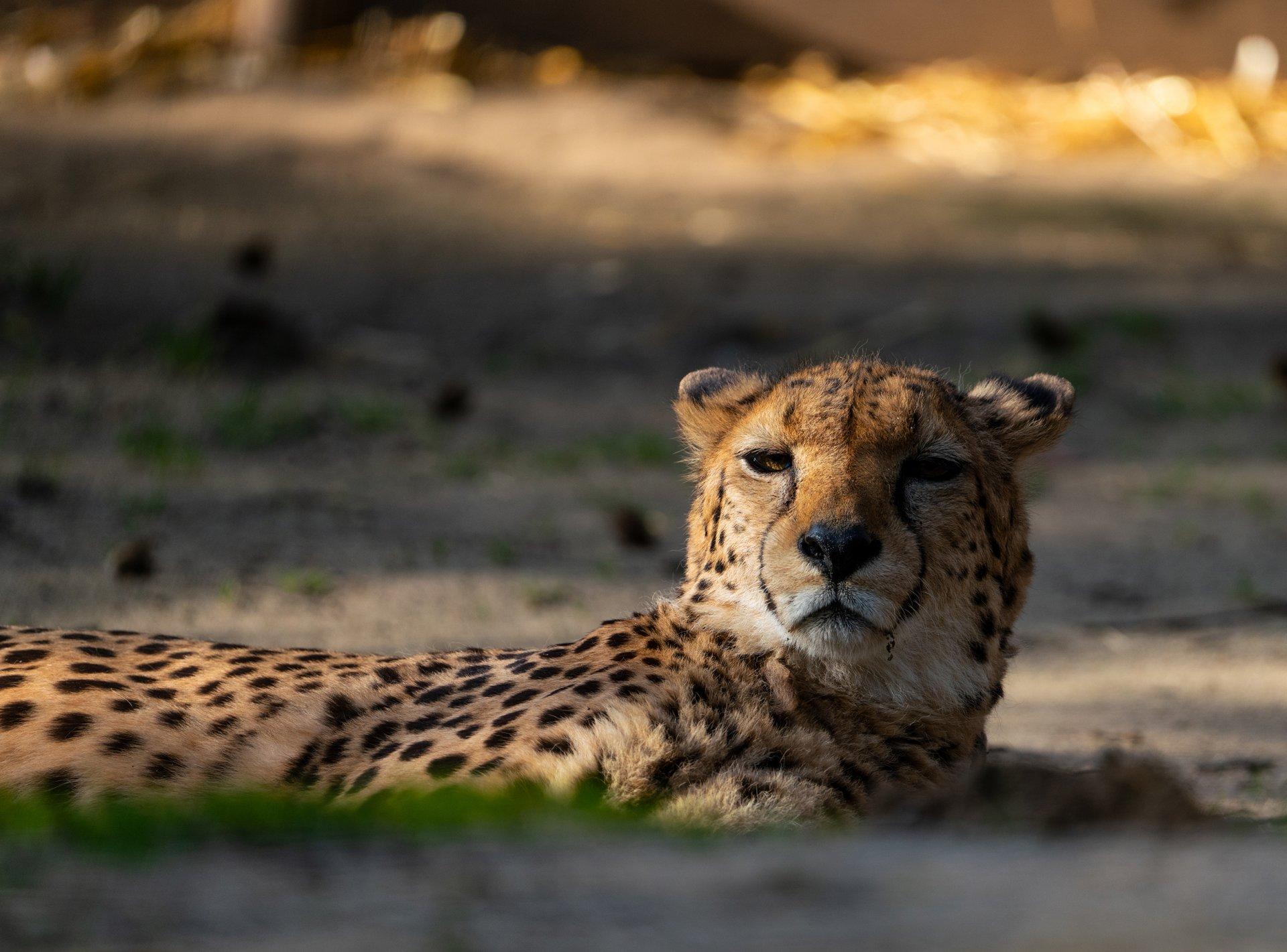 Gepard2 sehr klein.jpg